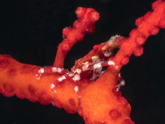 Coral crab - Milne Bay
