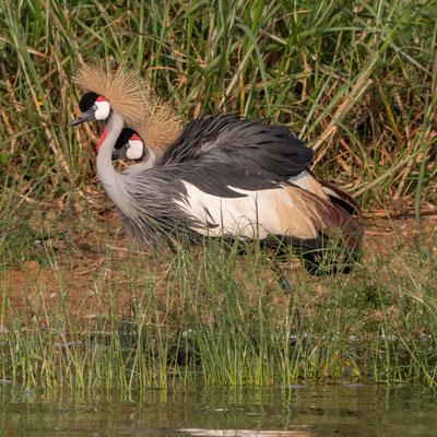 Grey crowned cranes, Akagera NP, Rwanda