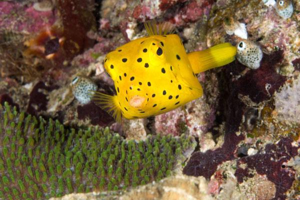 Juvenile boxfish