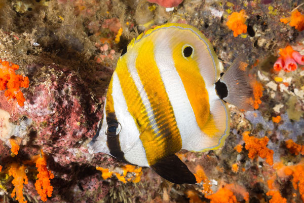 Orange-banded coralfish – Coradion chrysozonus