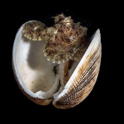 Coconut octopus in a shell