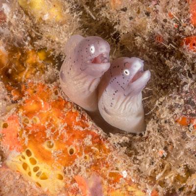 Morray eels