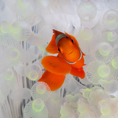 Clown anemonefish [Amphiprion ocellaris] - Kimbe Bay