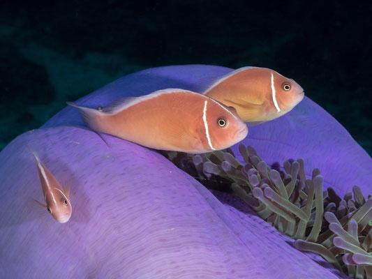 Skunk anemonefish