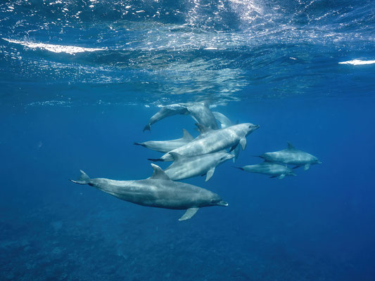 Dolphins at Abu Nuhas (snorkelling)