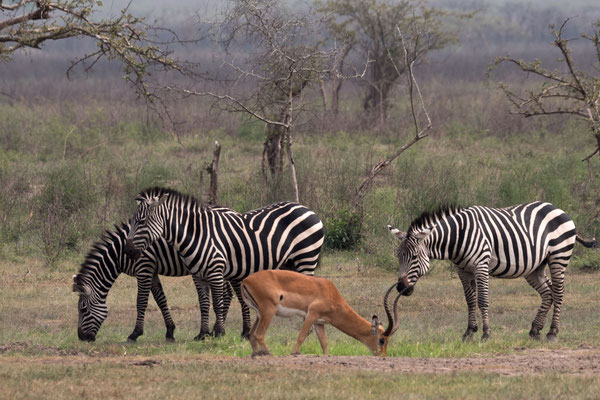 Zebras, Akagera NP, Rwanda