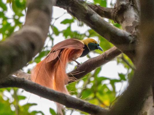 Bird of Paradise - Milne Bay