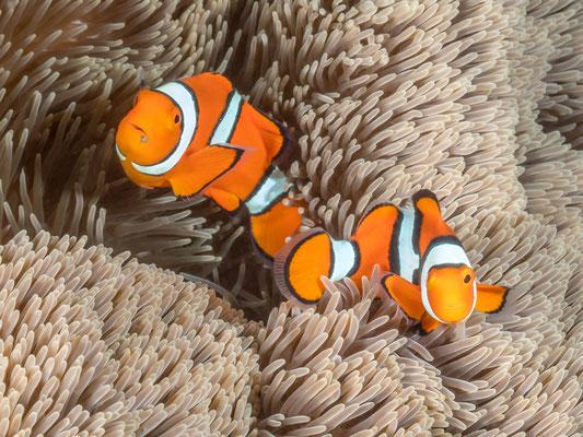 Orange clownfish [Amphiprion percula] - Kimbe Bay