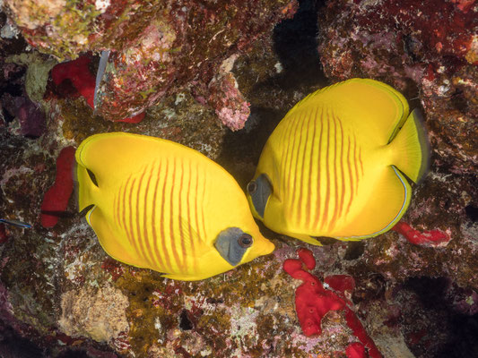 Blue-cheek butterfly fish