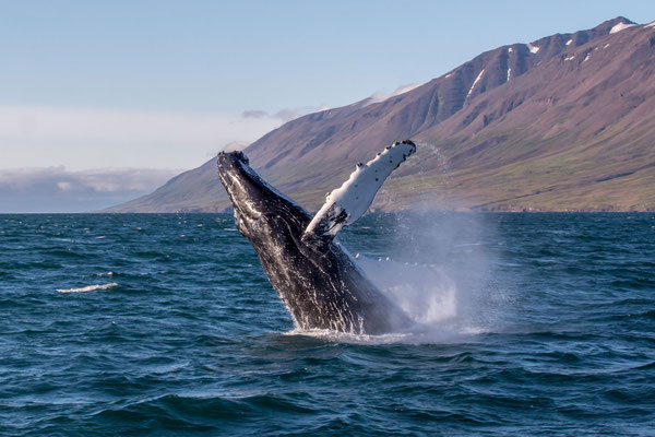 Humpback whale watching, near Dalvik