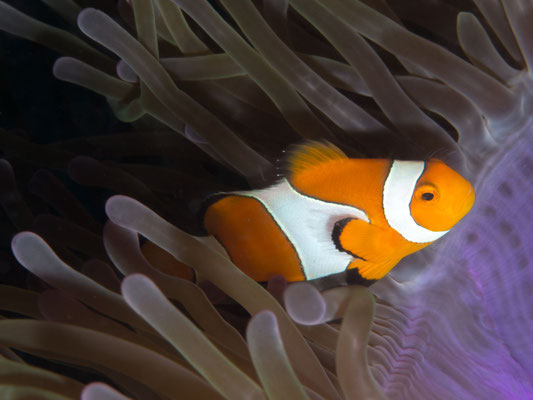 False clownfish – Amphiprion ocellaris
