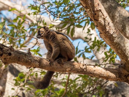 Makis (lemurs)