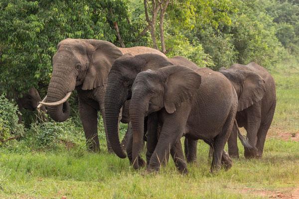 Elephants, Akagera NP, Rwanda