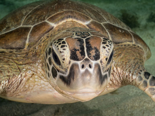 Sea turtle, Mayotte