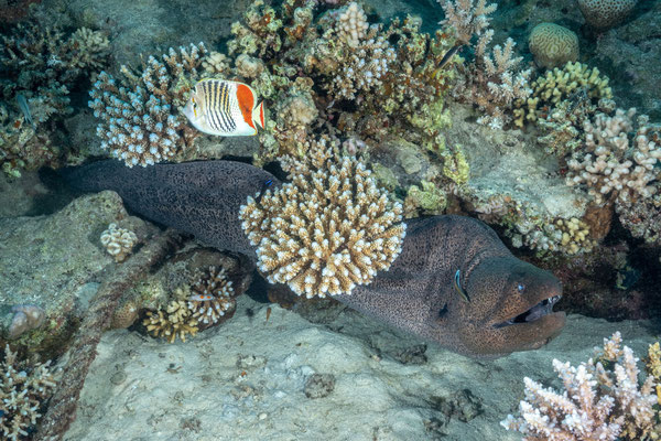 Giant moray and a Redback butterflyfish