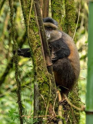 Golden monkeys, Volcanos NP, Rwanda