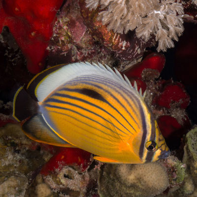 Black-tailed Butterflyfish (or blacktail butterflyfish), also called Exquisite Butterflyfish [Chaetodon austriacus]