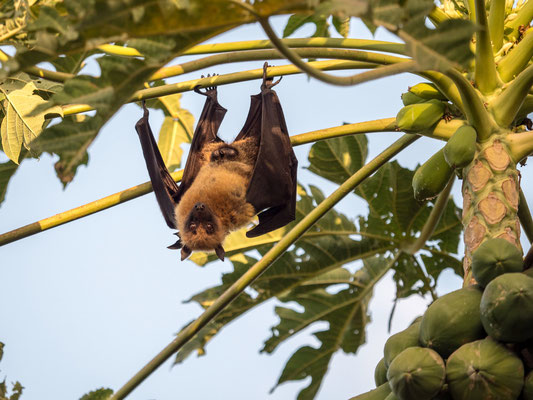 Flying fox or fruit bat