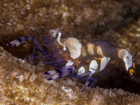 Snow-capped anemone shrimp or Five spot anemone shrimp (Periclimenes breviacarpalis)