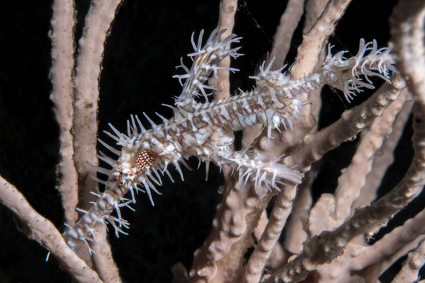 Ornate ghost pipefish - Milne Bay