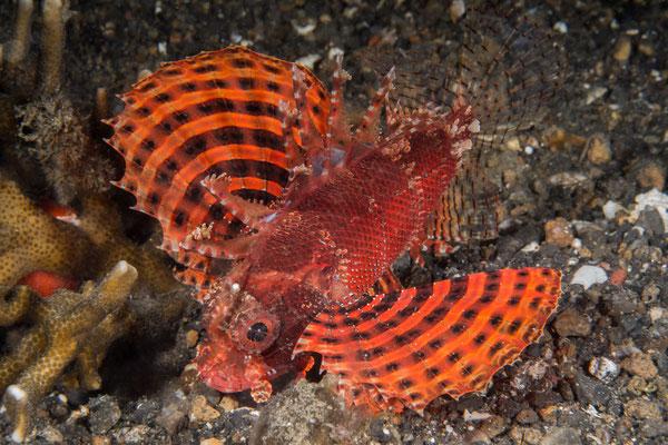 Shortfin dwarf scorpionfish