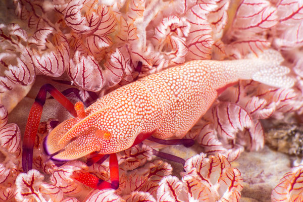 Empereror shrimp on Spanish dancer