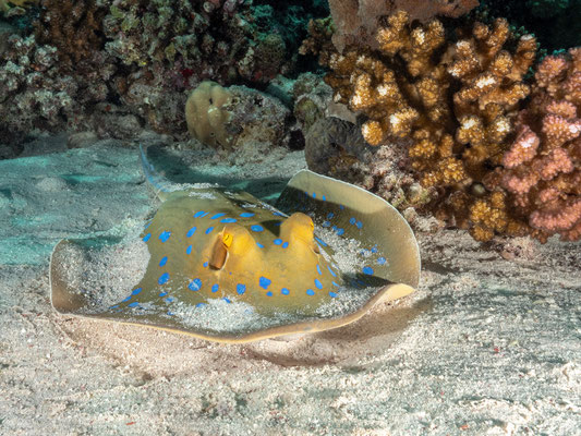 Bluspotted ray