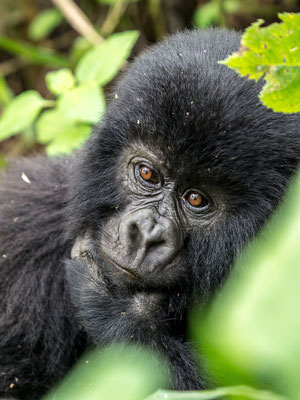 Mountain Gorillas, Virunga National Park, DRC