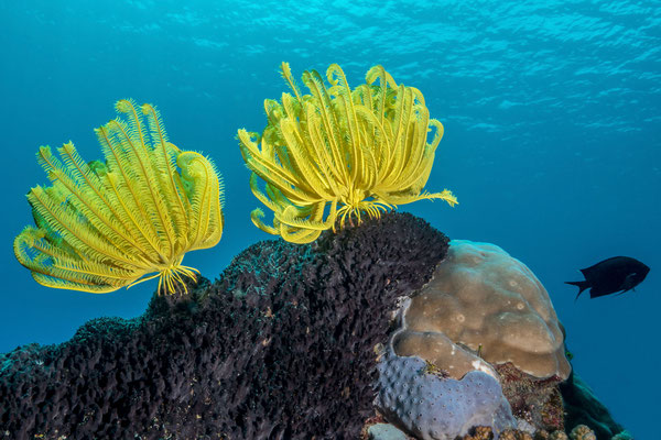 Yellow featherstar and dark sponges, a nice combo! - Milne Bay