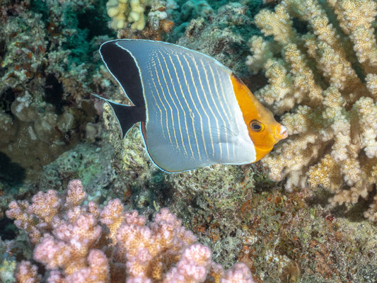 Eritrean butterflyfish or Red Sea Chevron butterflyfish