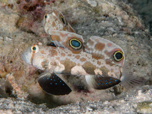 Two spot goby (Signigobius biocellatus) - Kimbe Bay