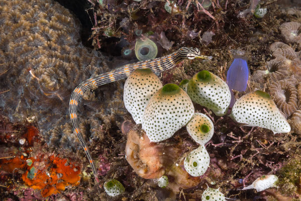 Dragon pipefish