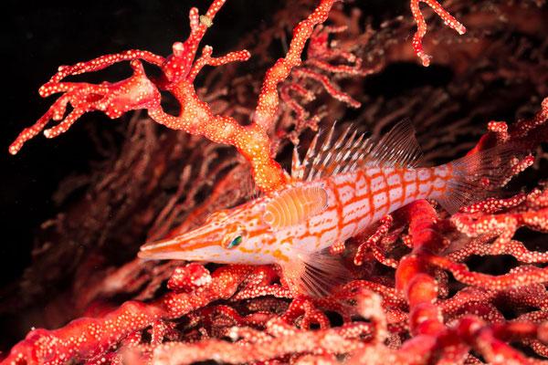 Longnose hawkfish – Oxycirrhites typus