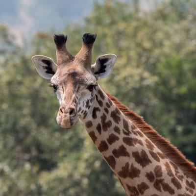 Giraffe, Akagera NP, Rwanda