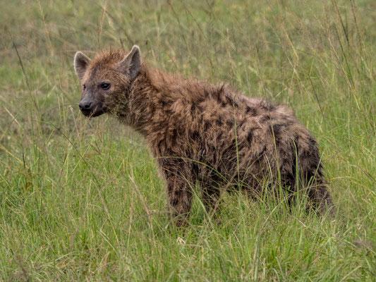 Spotted hyena, Akagera NP, Rwanda