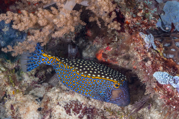 Male whitespotted boxfish