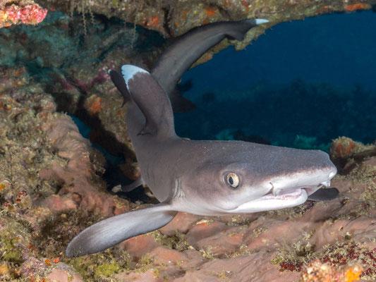 Baby Whitetip shark - Kimbe Bay