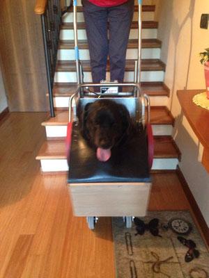 Il labrador si fa le scale bello comodo e contentissimo sullo Scricciolo .