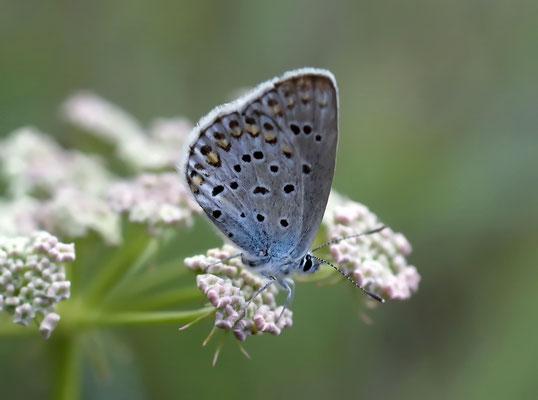 Graublauer Bläuling
