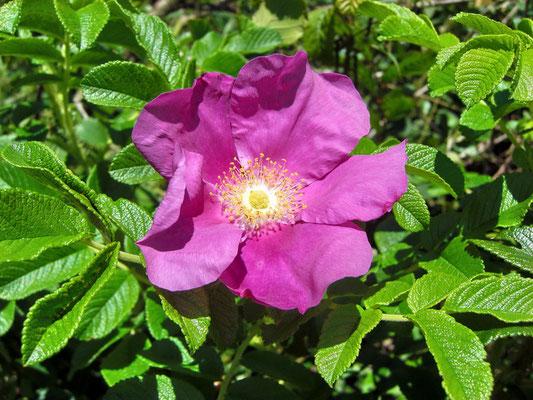 Alpen-Rose