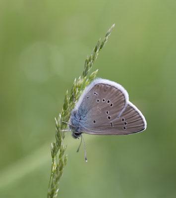 Violetter Wald-Bläuling