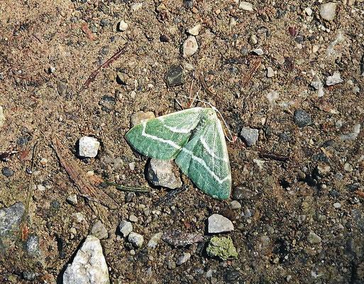 Grüner Waldrebenspanner