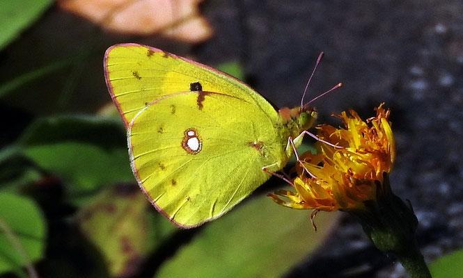 Goldene Acht oder Hufeisenklee-Gelbling