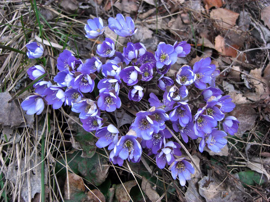 Blaues Leberblümchen