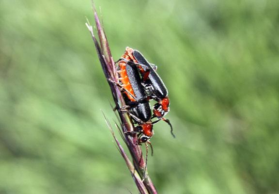 Weichkäfer (Cantharis rustica)