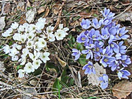 Weisses und blaues Leberblümchen