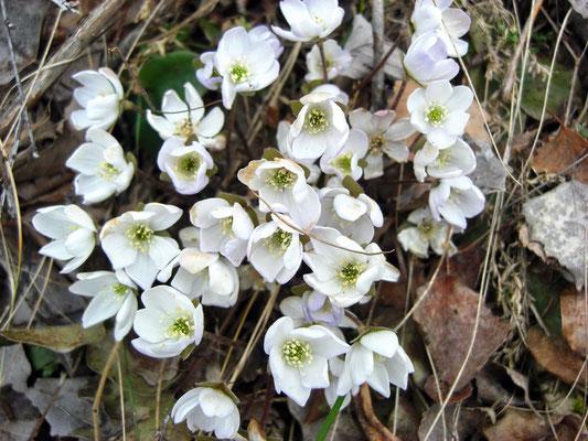 Weisses Leberblümchen