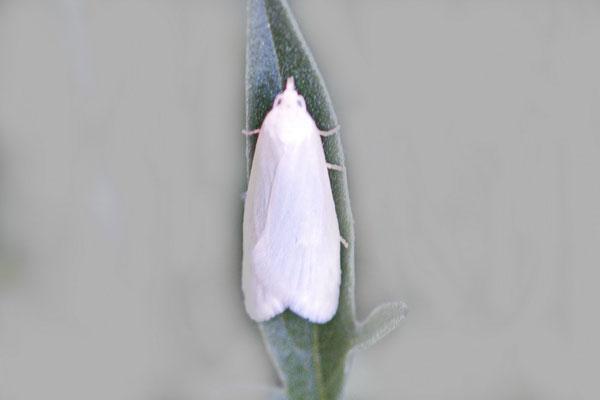 Wickler (Eana argentana)