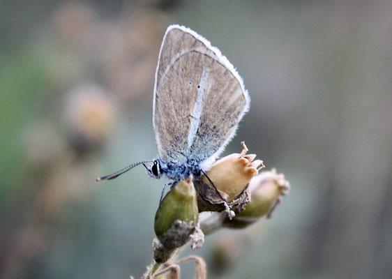 Grünblauer-Bläuling (m)