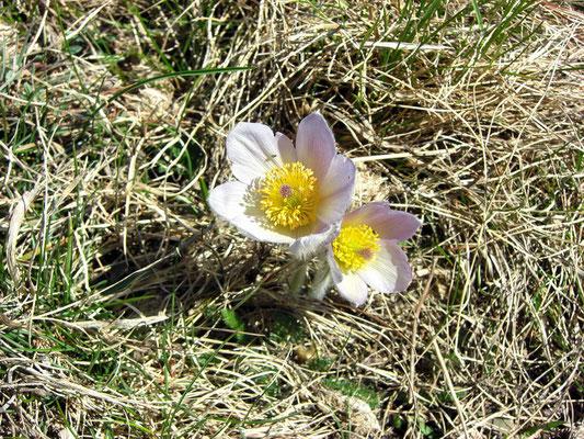 Frühlings-Kuhschelle